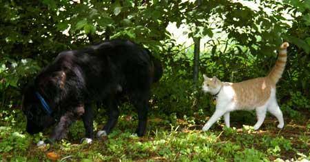 Bodhi and Darwin the Cat Cruisin' the Yard.jpg