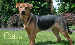 Cotton | Adoptable Rescue Dog in Memphis,TN