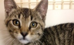 Adoptable Wet Nose Wednesday Cat in Memphis, TN